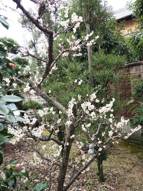 2016庭の白梅1.jpg