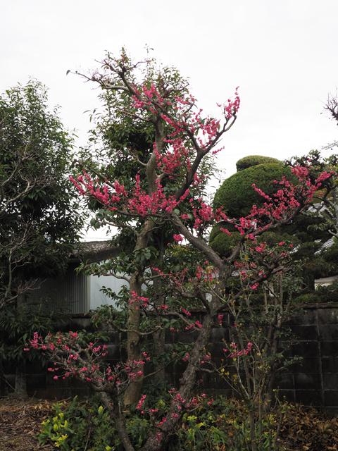 2016庭の紅梅1.jpg