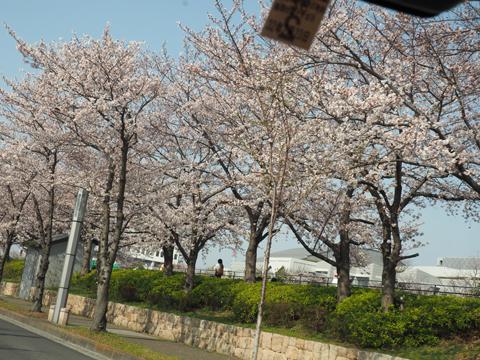 2019桜-2.jpg