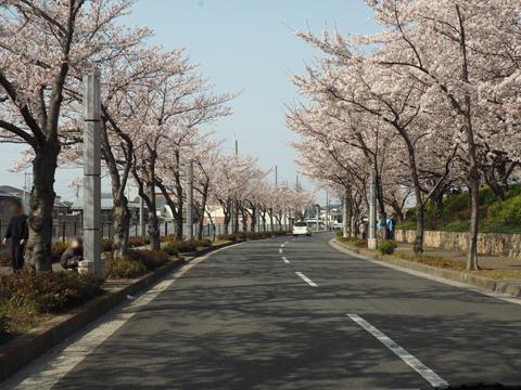 2019桜-3.jpg