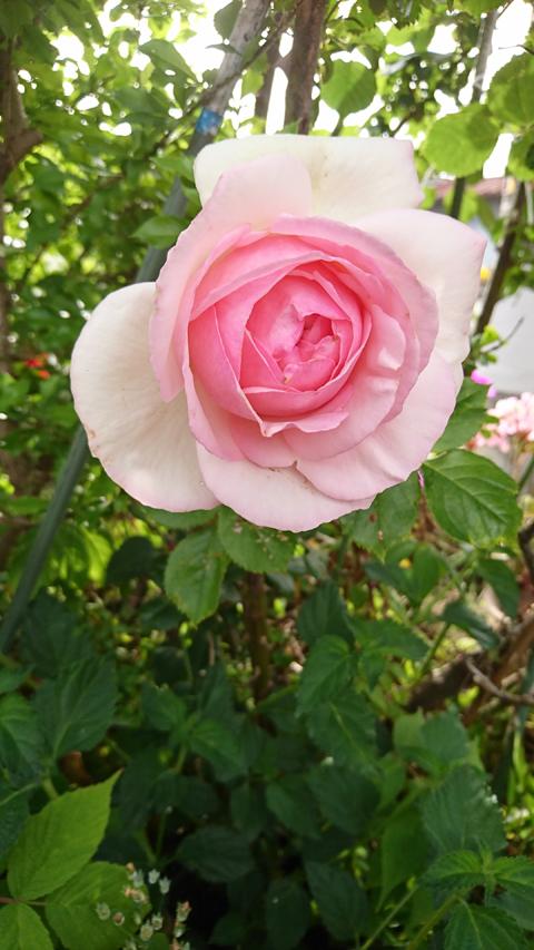 庭の花(ピエール).jpg